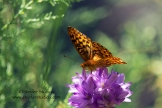 Steider Studios: Checkered Butterfly on Wild Lily